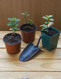 Plant cuttings in plant pots with trowel - chocolate mint herb. Royalty Free Stock Photos