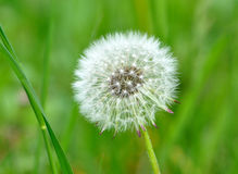 Plant - dandelion Stock Photography