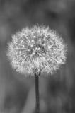 Plant, dandelion, monochrome Stock Photos