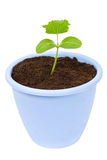 Plant in a dark blue pot Royalty Free Stock Images