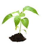 Plant in dark soil isolated Stock Images