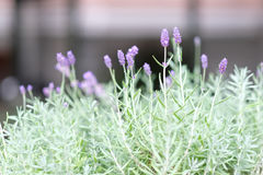 A plant with delicate purple flowers Stock Photo