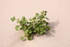 Plant in the desert. Alone plant growing in the desert beach royalty free stock photography