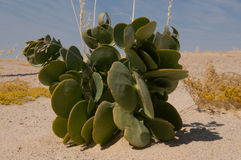 Plant in a desert Stock Photography