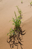 Plant in a desert Royalty Free Stock Photos