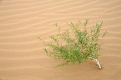 Plant in desert Royalty Free Stock Images