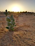 A plant in the desert. Desert flora have adapted to the extremes of heat and aridity by using both physical and behavioral mechanisms, much like desert animals stock image