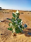 A plant in the desert. Desert flora have adapted to the extremes of heat and aridity by using both physical and behavioral mechanisms, much like desert animals stock photo