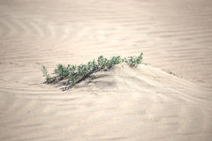 Plant in the desert sands Stock Photography