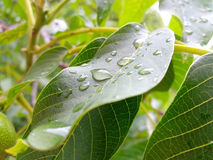Plant with dew on leaves. Small droplets of water Stock Images