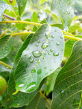 Plant with dew on leaves. Small droplets of water Royalty Free Stock Photo