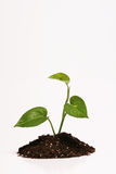 Plant in dirt. Isolated plant growing out of a pile of dirt Royalty Free Stock Image