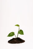 Plant in dirt. Isolated plant growing out of a pile of dirt Stock Images