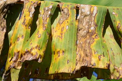 Plant disease on a banana leaf Stock Photography