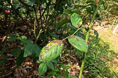 Plant disease, fungal leaves spot disease on roses causes the damage on rose. Back spot disease Royalty Free Stock Photo
