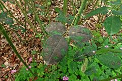 Plant disease, fungal leaves spot disease on roses causes the damage on rose. Back spot disease Stock Images