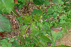 Plant disease, fungal leaves spot disease on roses causes the damage on rose. Back spot disease Stock Image