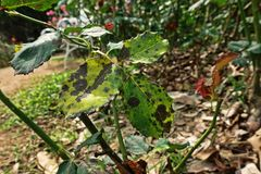 Plant disease, fungal leaves spot disease on roses causes the damage on rose. Back spot disease Stock Photography