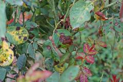Plant disease, fungal leaves spot disease on roses causes the damage on rose Royalty Free Stock Images