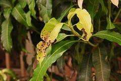 Plant disease. Mango laves disease from fungi Stock Image