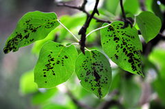 Plant disease on the pear leaf royalty free stock photography