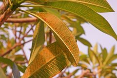 Plant disease, plumeria leaves disease stock images