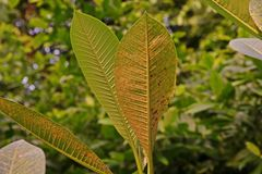 Plant disease, plumeria leaves disease stock image