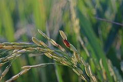 Plant disease on rice. Dirty grain Stock Images