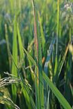 Plant disease on rice. Leaf blight Royalty Free Stock Images