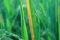 Plant disease on rice. Leaves blight from micro organism Stock Photography
