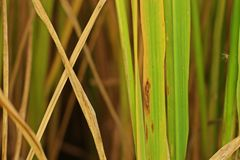 Plant disease, rice`s leaves  blight. Plant disease, rice`s leaves blight from pathogen Royalty Free Stock Photo