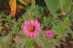 Plant disease, zinnia fungal spot on flower and leaves Stock Photos
