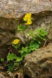 Sundrops or Evening Primrose Wildflowers – Oenothera fruticosa royalty free stock photos