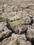 Plant in dried cracked mud Royalty Free Stock Images