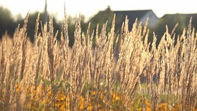 Plant With Dry Ears Moving With Light Wind On Sunny Day. Plant With Dry Ears Close Up Moving With Light Wind On Sunny Day On The Background With Yellow Flowers stock footage