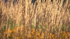 Plant With Dry Ears Moving With Light Wind On Sunny Day. Plant With Dry Ears Close Up Moving With Light Wind On Sunny Day On The Background With Yellow Flowers stock video