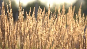 Plant With Dry Ears Moving With Light Wind On Sunny Day. Plant With Dry Ears Close Up Moving With Light Wind On Sunny Day On The Background With Yellow Flowers stock video footage