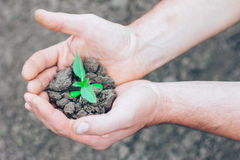 Plant in dry soil in male hands Royalty Free Stock Images