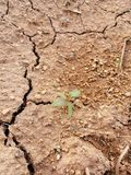 Plant in dry soil. Picture of plant in dry soil stock photography