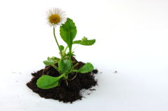 Plant on earth. Plant and soil isolated on a white background Royalty Free Stock Images