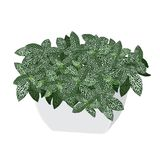 Plant een argyroneura van fittonia zilverachtige Fittonia in een pot Stock Afbeeldingen