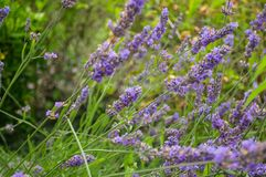Plant, English Lavender, Lavender, Flower Stock Images