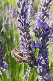 Plant, English Lavender, Lavender, French Lavender stock photos