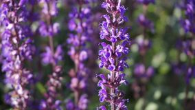 Plant, English Lavender, Lavender, Purple stock image