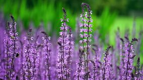 Plant, English Lavender, Lavender, Purple Royalty Free Stock Photo