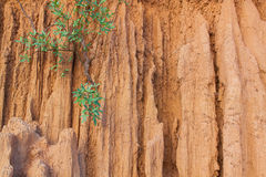 Plant on erosion soil similar to wall and cliff Royalty Free Stock Image