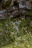 The plant Eryngium amethystinum close-up stock photo