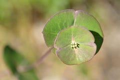 Plant Euphorbia genus Royalty Free Stock Photos