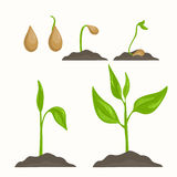 Plant evolution life cycle growth phases. Life cycle of plant evolution from seed to green sprout. Phases of vegetable growth. Detailed vector illustration Stock Photos