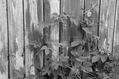 Plant on the fence. Background from wooden boards. Plant on the fence. Background from wooden boards stock photos
